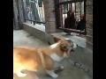 Всё как у людей,Pets & Animals,laodao,пепестан,Всё как у людей,собаки,собака,новости,юмор,животные,квестра,пес,приколы,смешное видео,путин,фургал,funny,pets,домашние животные,приколы с собаками,лабрадор,прикольные собаки,смешные собаки,веселые собаки,прикол,лучшие,хабаровский край,приколы с животным